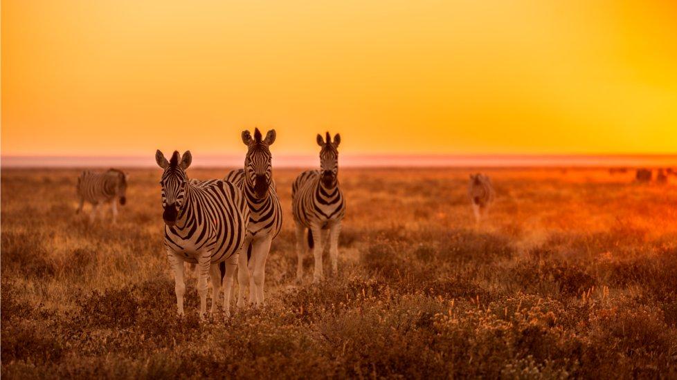 zebres-namibie