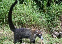 Raton avec longue traine queue